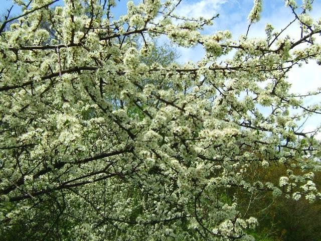 blackthorn tree - photo #46