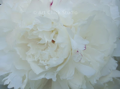 White Peony Photo
