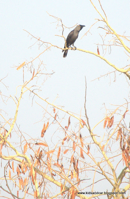 An  Indian Crow On Tree