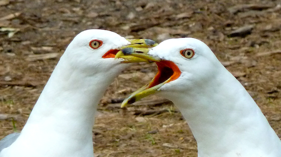 seagull angry