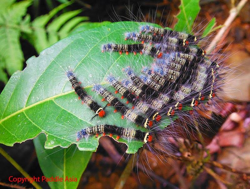 Thailand image caterpillar