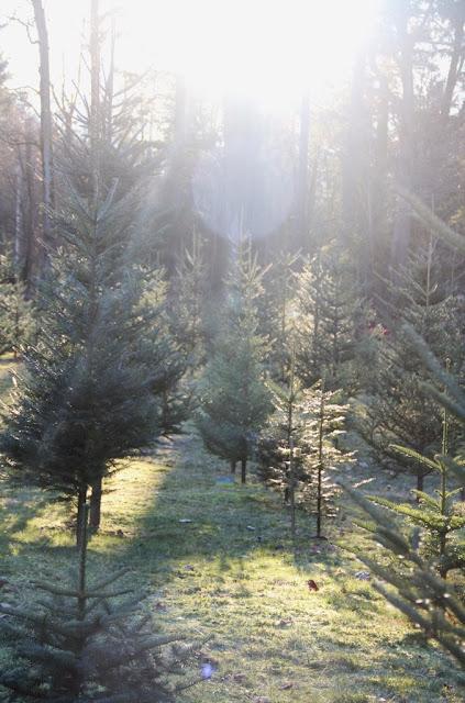 Moose Apple Christmas Tree Farm