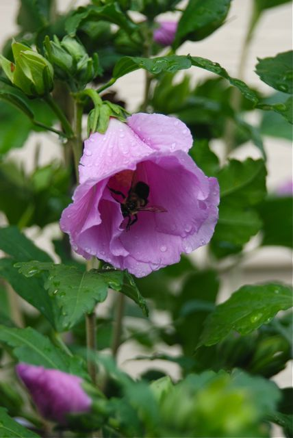 A bee out enjoying the nectar in a Rose of Sharon (Hibiscus syriacus) after the refreshing summer rain.