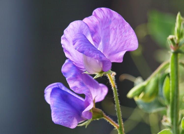 """Duftende planter i haven med blå blomster. Lathyrus """"Spencer"""" er en pragtfuld sommerblomst i haven"""