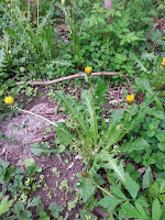 photo of dandelions in a forest