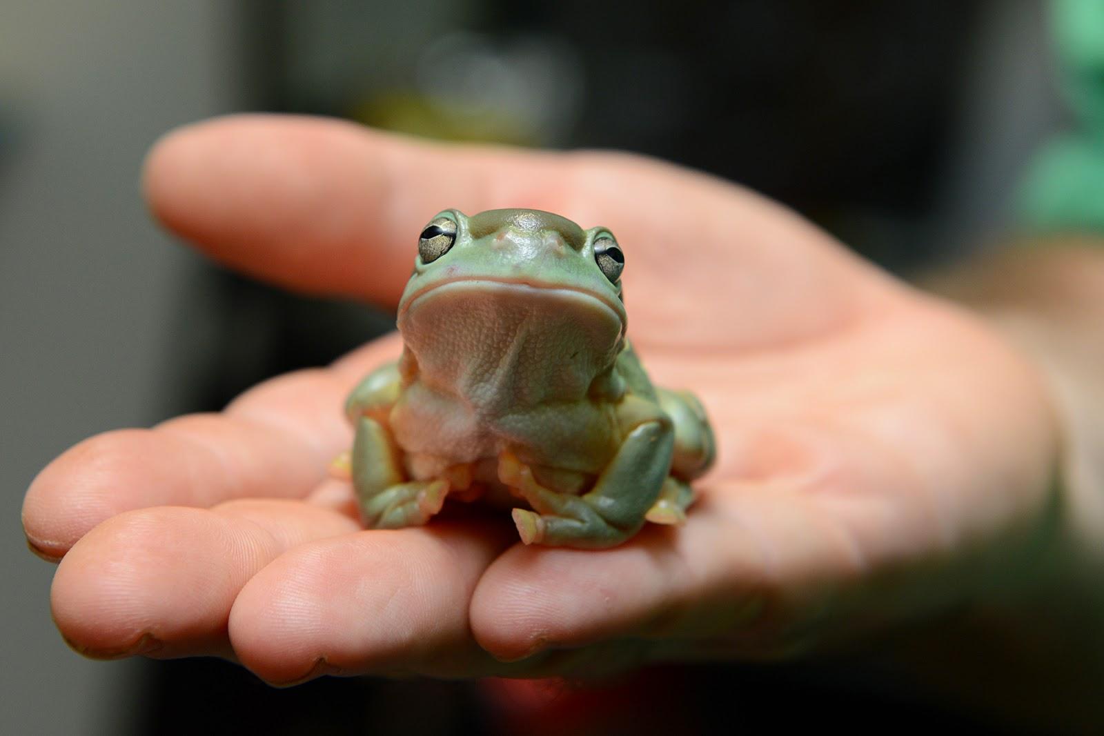 Magnificent Tree Frog/Splendid Tree Frog