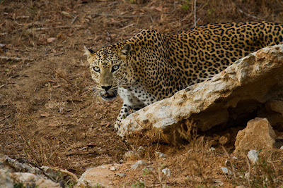 The Leopard approaches - Yala, Sri Lanka