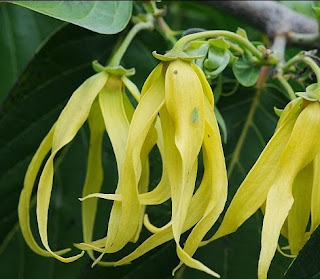Benefits ylang flower Overcome Various Diseases