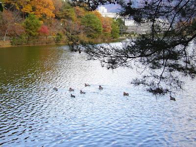 京都市・宝が池公園ウォーキング・カモ