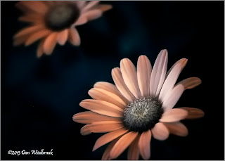 IR Daisy - Taken in the Blue Hour