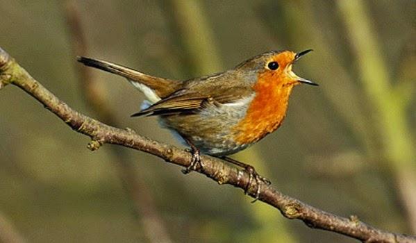 membuat-ramuan-herbal-untuk-burung