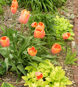 Peach tulip with emerging hosta
