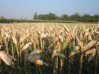 tanaman jagung