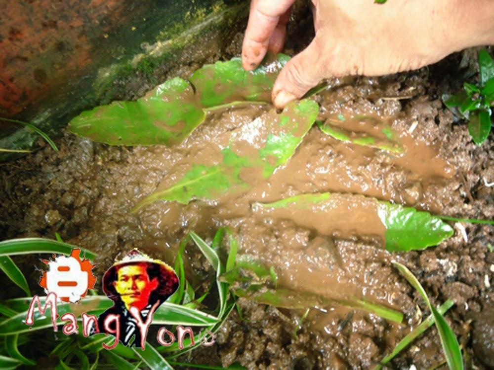 Meletakan daun - daun Cocor bebek di tempat semai