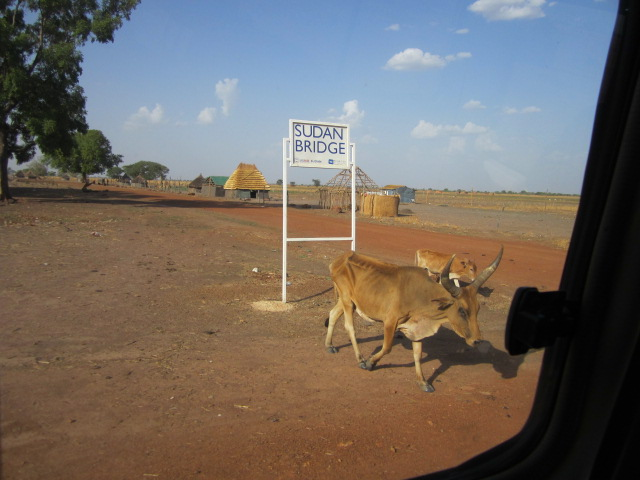 Cows in front of the compound, Kuajok, Warrap State
