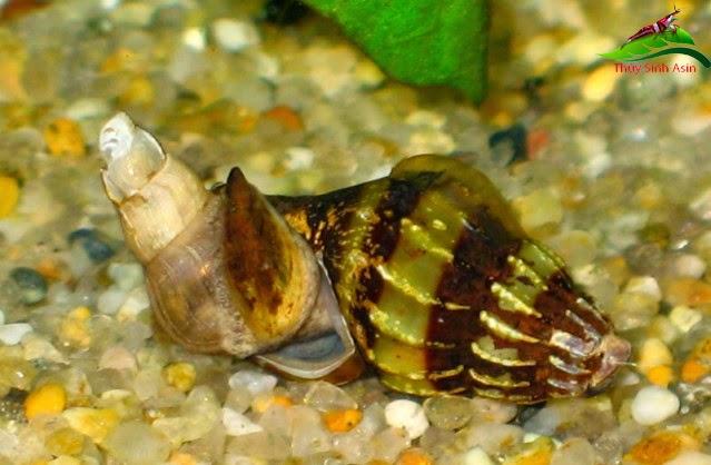 Ốc Helena - Ốc ăn ốc hại khác trong hồ thủy sinh