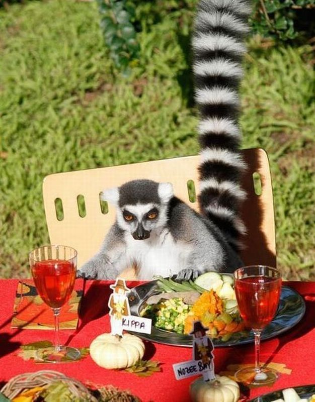 funny animal pictures, lemur dinner