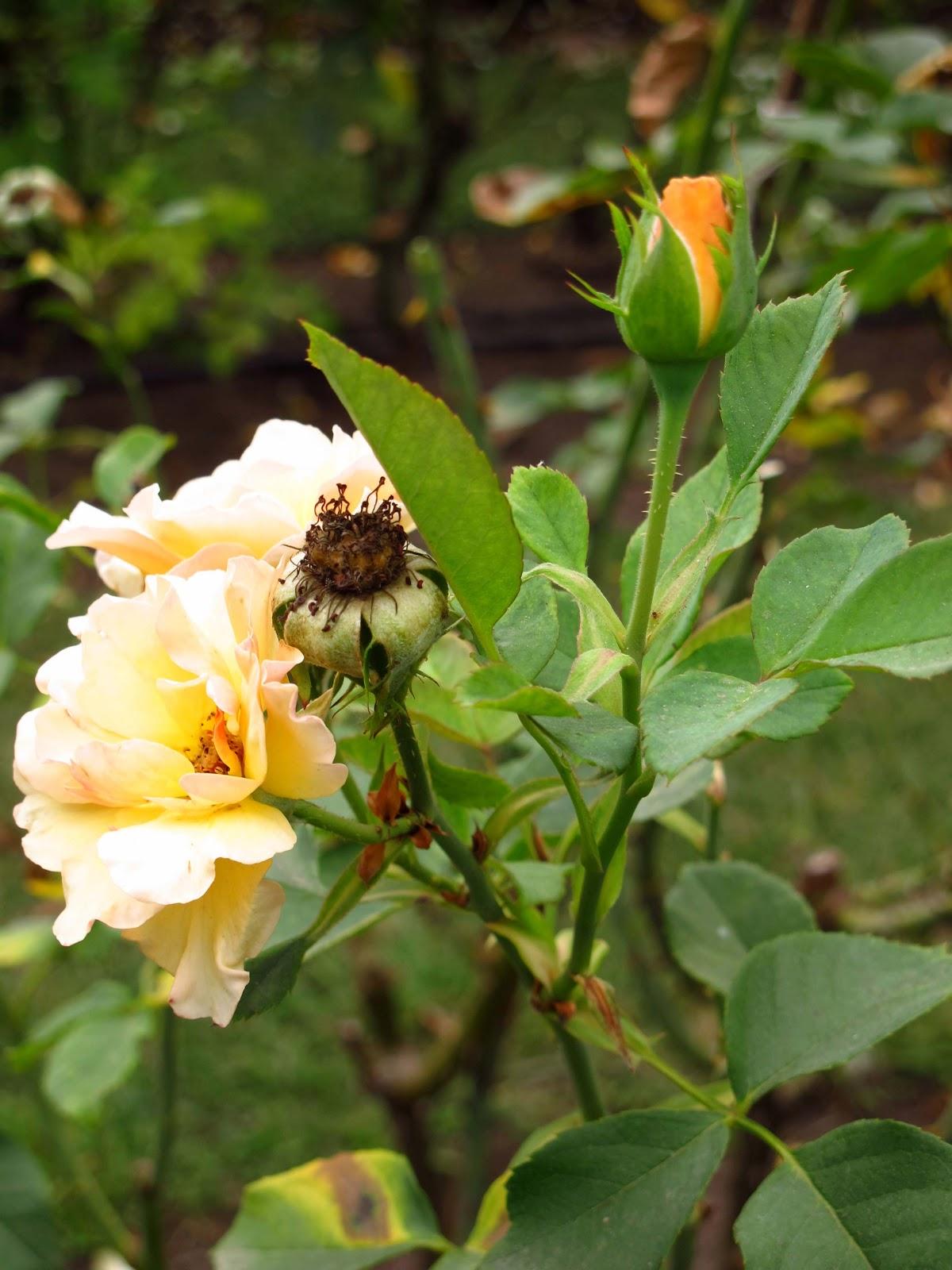En el jardin poda de rosas en el verano - Flores de verano ...