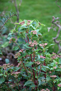 Viburnum thenurseries.com