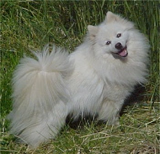 American Eskimo Dog pictures