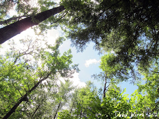 tree canopy, michigan forest, manistee, river