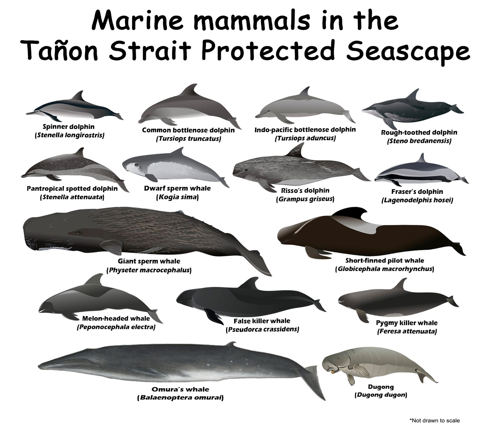 various types of whales Life history growth and reproduction humpbacks are believed to live 40-50 years aging of adult whales has proven to be difficult and studies on aging techniques are ongoing.