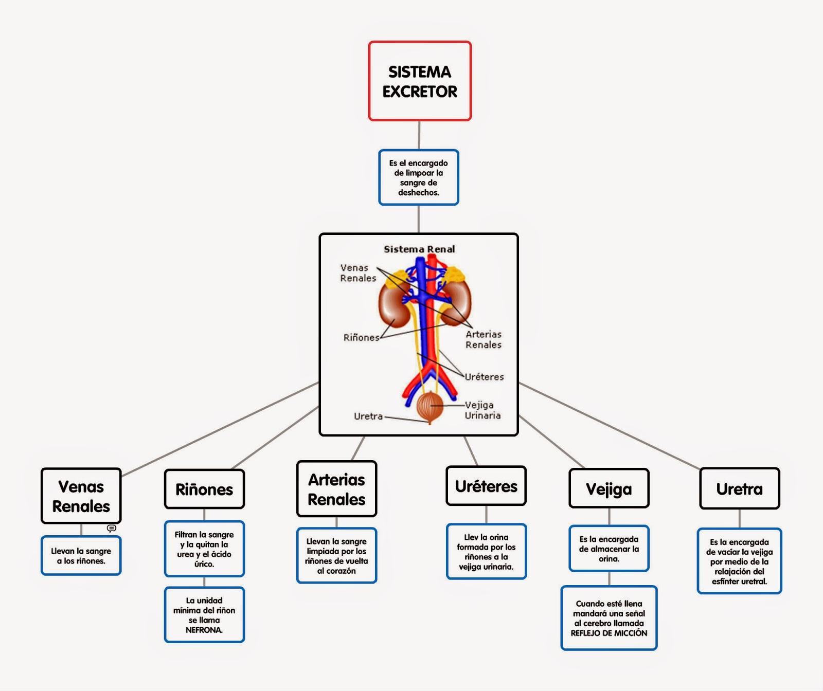 Moderno Imagen De Sistema Excretor Motivo - Imágenes de Anatomía ...