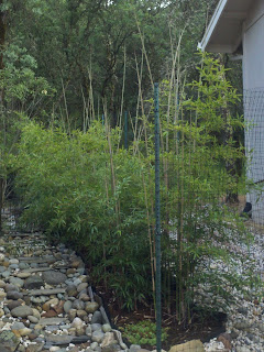 Post script to bamboo growing in the Northern California foothills…