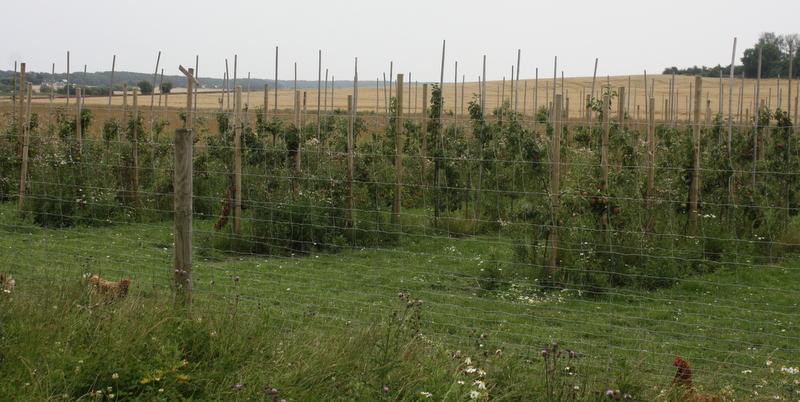 Æbleplantagen