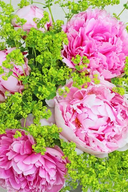 Pink Peonies, Alchemilla mollis