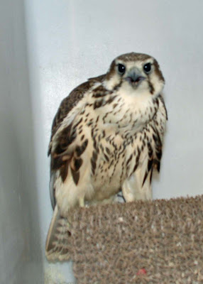 Ironside Bird Rescue, Inc.: Another baby falcon