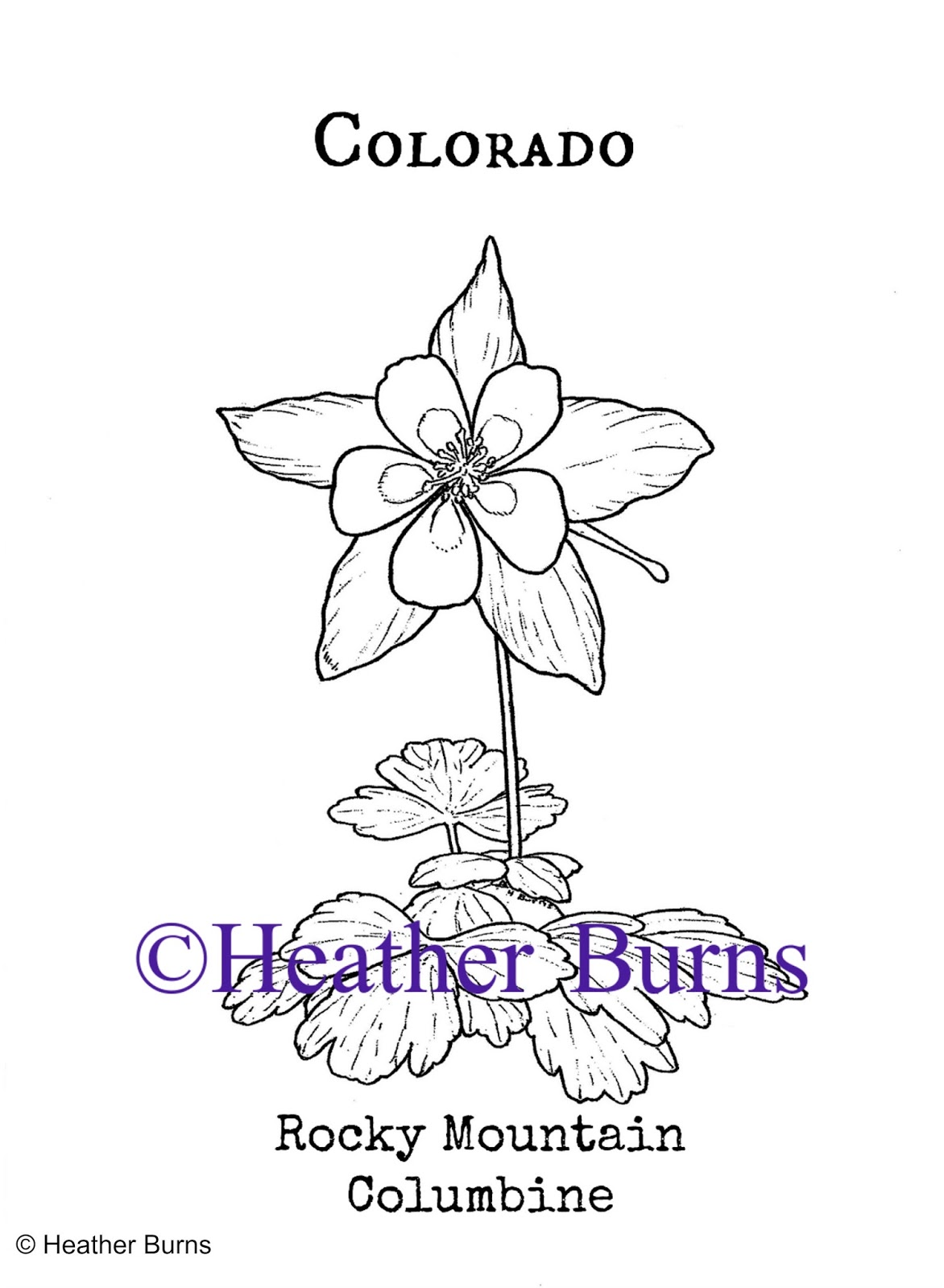 State Flower Coloring Book Colorado