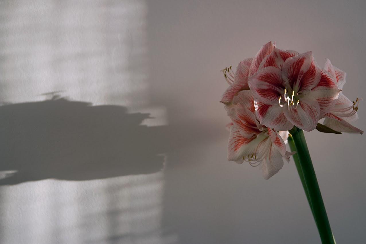 amaryllis met schaduw
