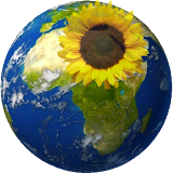 Sunflower Abroad