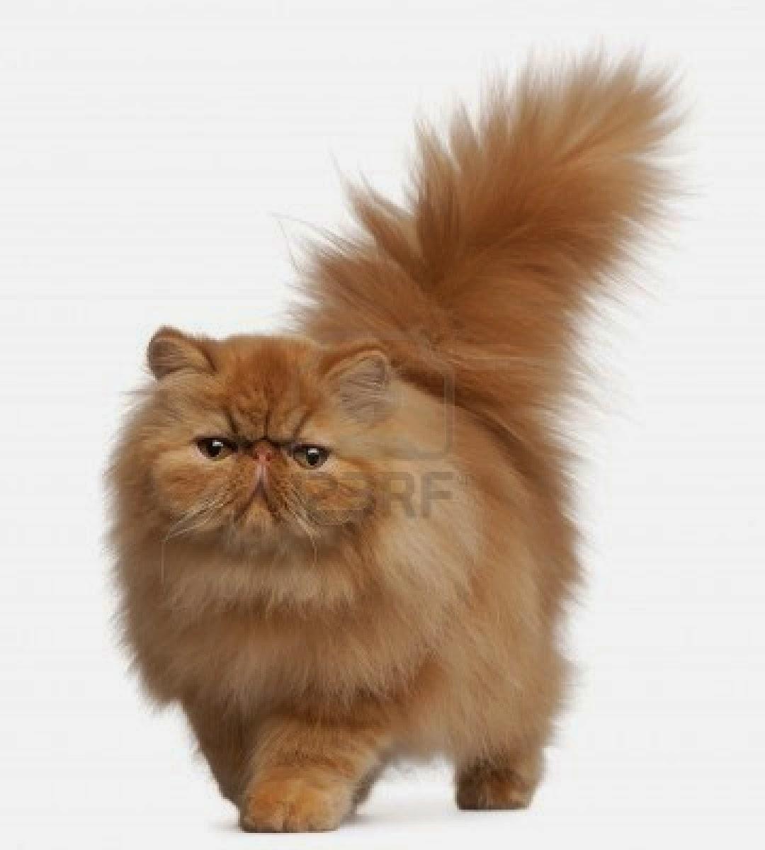 Senyum Comel 11 Gambar Kucing Parsi Yang Gebu