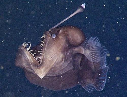 Cientistas captam pela 1ª vez imagens de diabo negro do mar
