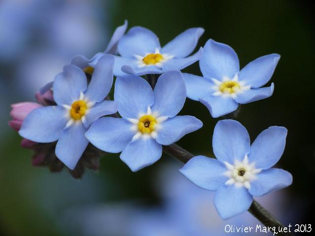 Olivier marquet photographies fleurs de myosotis du for Fleurs en gros