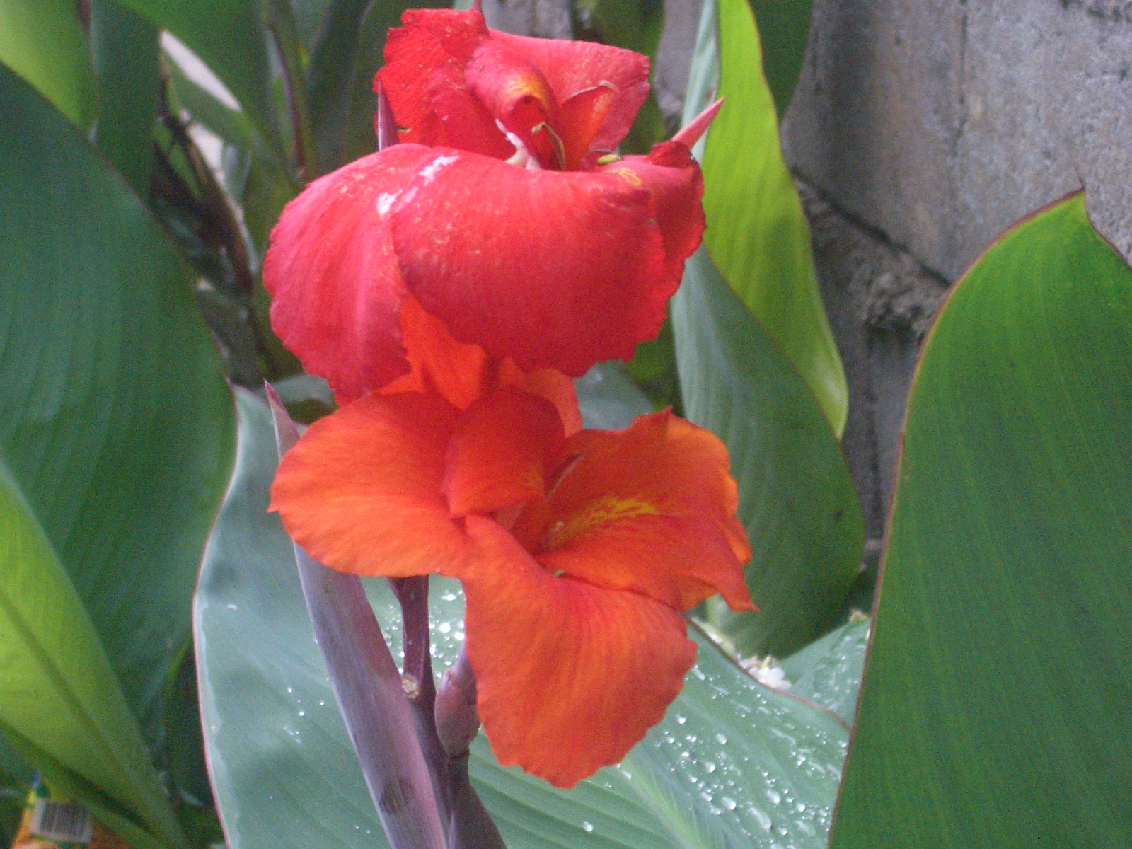 Eileen first interest beautiful plants and flowers canna flowers canna flowersindian shot izmirmasajfo