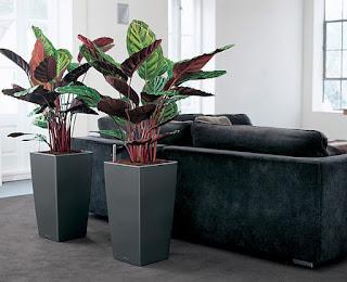 Растение калатея