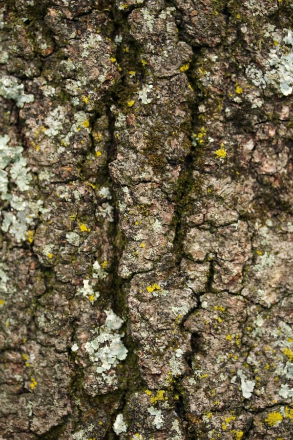 Lichen Covered Bark ~ Photo by ChatterBlossom #lichen #tree #bark #photography