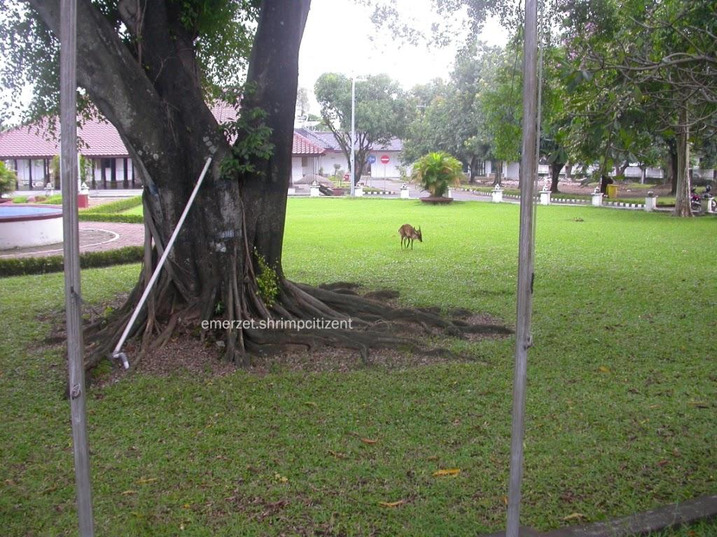 Kota Cirebon, Halaman Pendopo Bupati Cirebon - terlihat seekor rusa jantan sedang mencari makan di halaman Pendopo