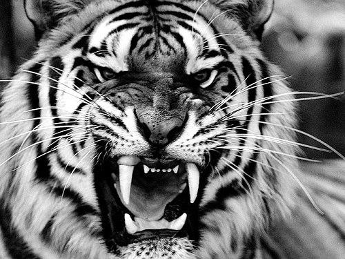 Fotos o Imagenes en Blanco y Negro - Página 2 Tigre+enojado+en+blanco+y+negro