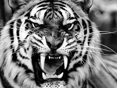 Tigre enojado en blanco y negro