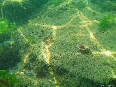Marea Neagra Black Sea underwater images poze subacvatice Melc-de-mare Rapana Veined-rapa-whelk Rapana-venosa Muricidae Rapan
