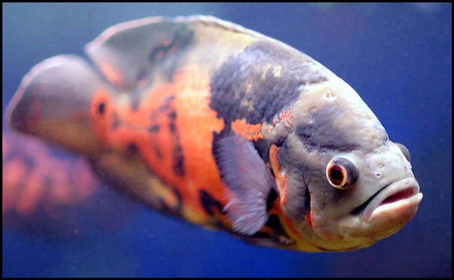 Basic information about oscar fish