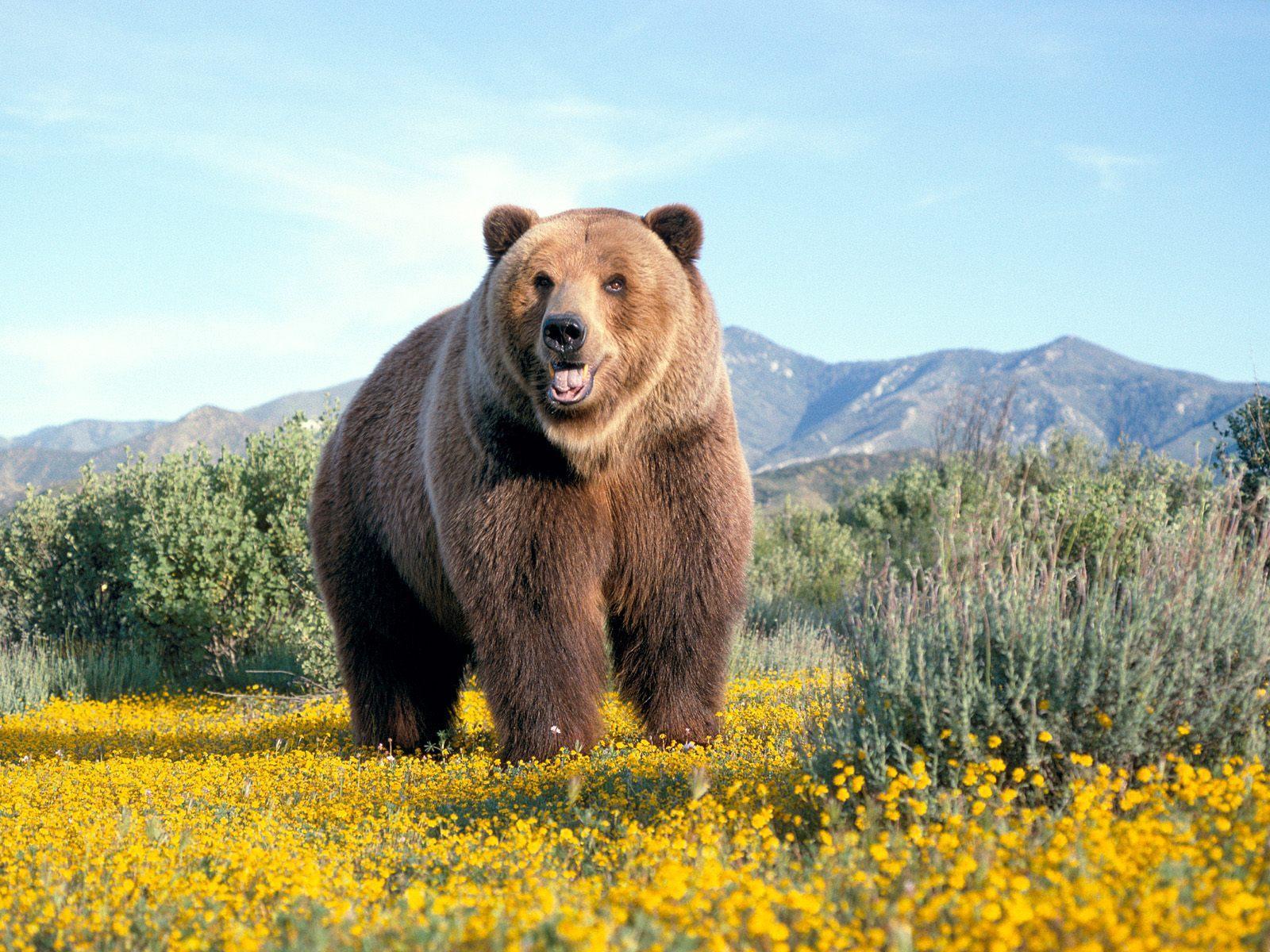 http://1.bp.blogspot.com/-QBZbSQUqQ94/UXsDuZqJ1OI/AAAAAAAAA2I/2M96_Mh390Q/s1600/The-best-top-desktop-bears-wallpapers-hd-bear-wallpaper-3-huge-brown-bear.jpg