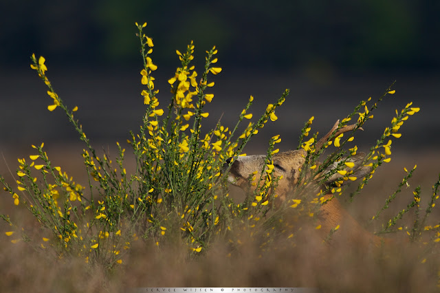 Reebok verstopt in bloeiende Brem - Roe Deer Buck hissen in flowering Broom