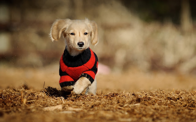 Little Dog Puppy Running