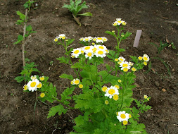 Feverfew: Natural Migrane Relief