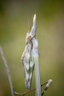 Para ampliar Empusa pennata (Insecto palo) hacer clic